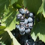 Vins français ou vins italiens ?